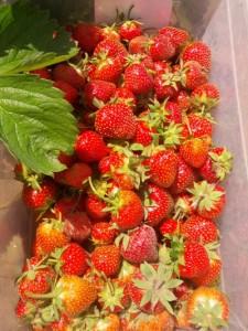 Pesticide free strawberries