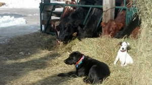 dogs and cows