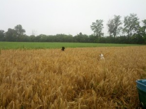 dogs in barley